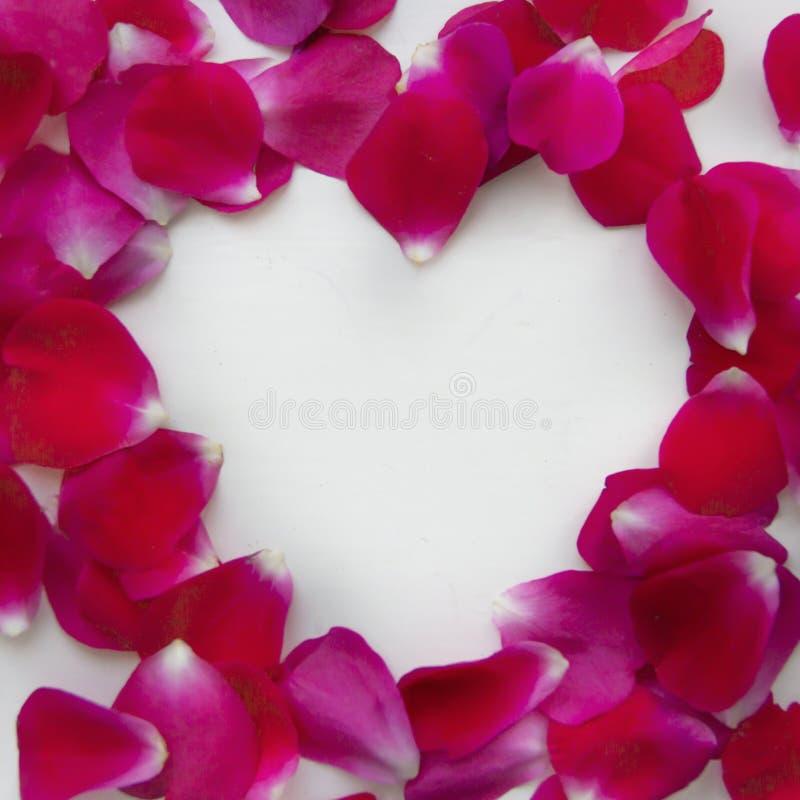 O fundo do rosa das pétalas cor-de-rosa em um fundo branco encontra-se delicadamente no coração de um branco imagens de stock