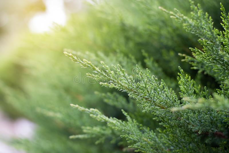 O fundo dos ramos do pinho é obscuro conceito do fundo da natureza da mola grama no fundo borrado na luz solar verão bonito ou imagens de stock royalty free