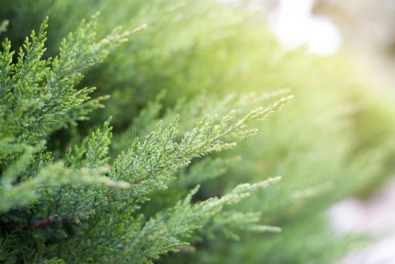 O fundo dos ramos do pinho é obscuro conceito do fundo da natureza da mola grama no fundo borrado na luz solar verão bonito ou fotos de stock royalty free