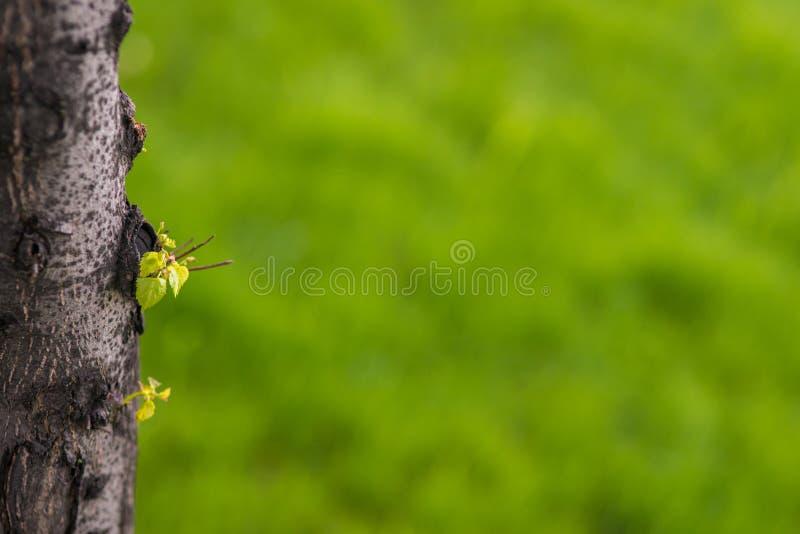 O fundo ensolarado abstrato do verão da mola com tronco e o broto com verde fresco borraram a grama Copie o espaço imagens de stock
