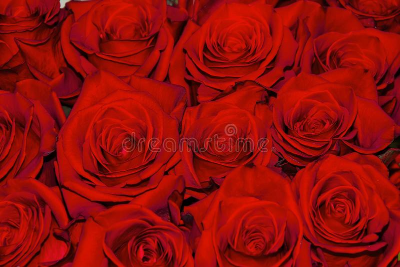 O fundo festivo floral bonito da florescência do vermelho fresca aumentou fotografia de stock