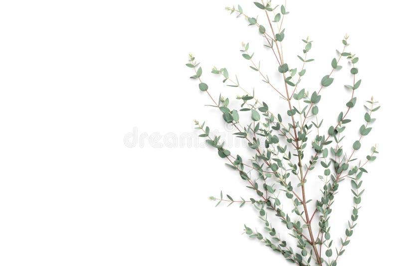 O fundo floral de Minimalistic do eucalipto verde sae da vista superior estilo liso da configuração fotos de stock