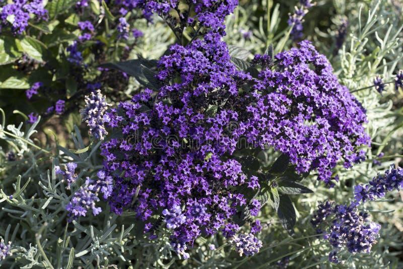 O fundo floral natural com os wildflowers adiantados atraentes doces selvagens da mola de William do ` de Emerald Blue do ` do su foto de stock