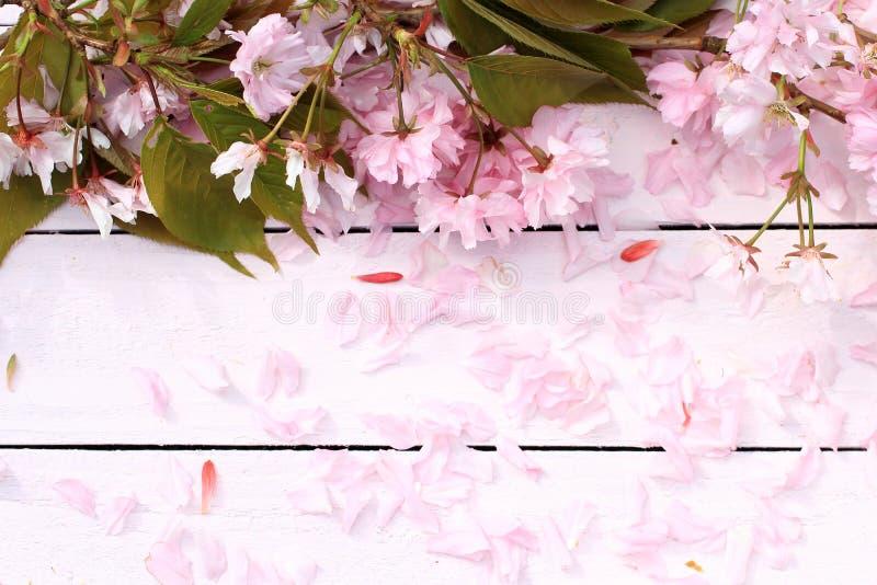 O fundo fresco, romântico, rústico da mola com cereja floresce as pétalas foto de stock royalty free