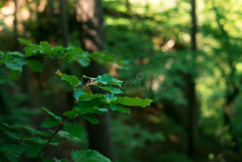 O fundo natural das folhas verdes frescas em uma floresta decidious Sun está brilhando durante todo as folhas Natureza e cor verd imagem de stock
