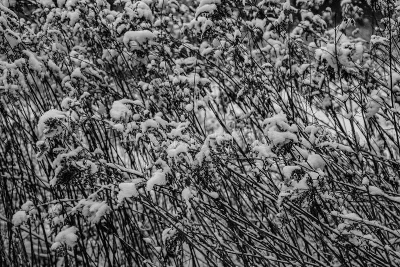 O fundo original do inverno com plantas e ramos cobriu com a neve branca fresca imagens de stock royalty free