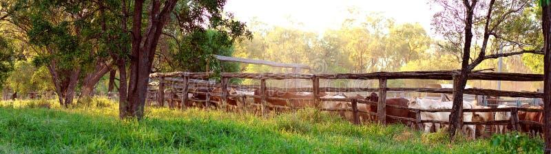 O gado arredondou-se acima em jardas fotografia de stock