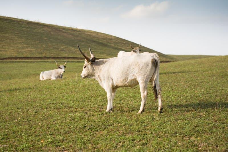 O gado cinzento húngaro. foto de stock