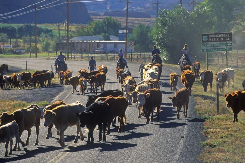 O gado conduz na rota 12, Escalante, UT imagem de stock