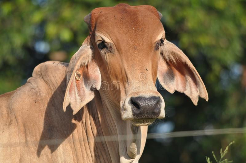 O gado do Brahman fecha-se acima imagens de stock