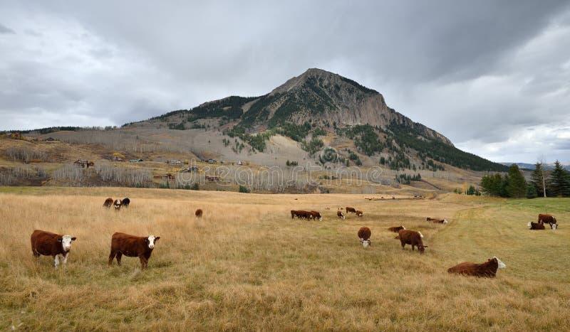 O gado pasta em um campo perto do Mt Butte com crista, Colorado fotografia de stock