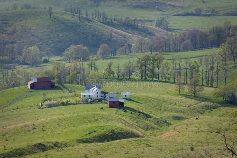 O gado que pasta em uma montanha cultiva em Virgínia foto de stock royalty free