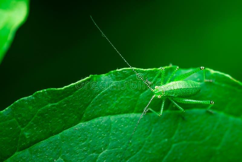 O gafanhoto verde está sentando-se em uma folha, grande Bush-grilo verde, ortópteros, artrópodes imagem de stock
