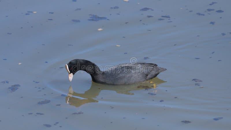 O galeirão é refletido na água do lago foto de stock royalty free