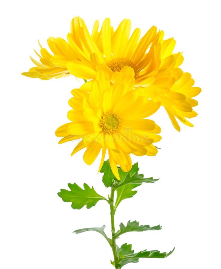 O galho bonito do crisântemo amarelo é isolado na parte traseira do branco fotografia de stock royalty free