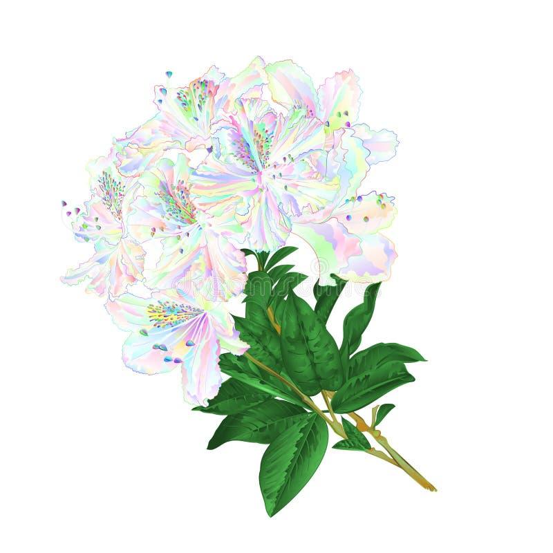 O galho coloriu flores do rododendro e deixa o arbusto da montanha em um vetor branco da tração da mão do vintage do fundo ilustração stock