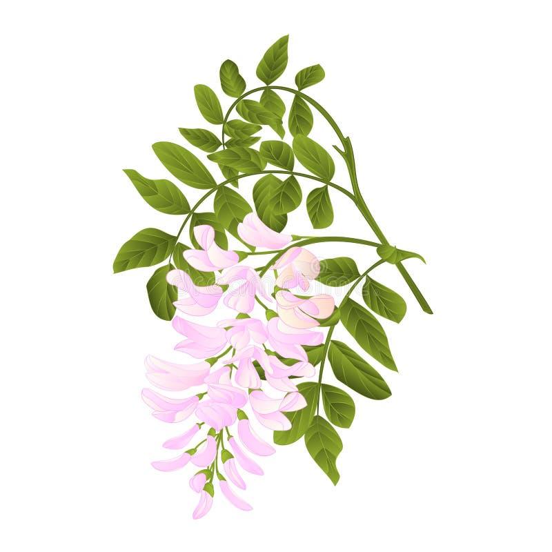 O galho da árvore de locustídeo com vintage das folhas e das flores vector o editabe da ilustração ilustração do vetor