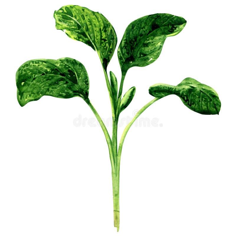 O galho de officinalis verdes frescos do salvia, sábio deixa especiarias isoladas, ilustração da aquarela no branco ilustração do vetor