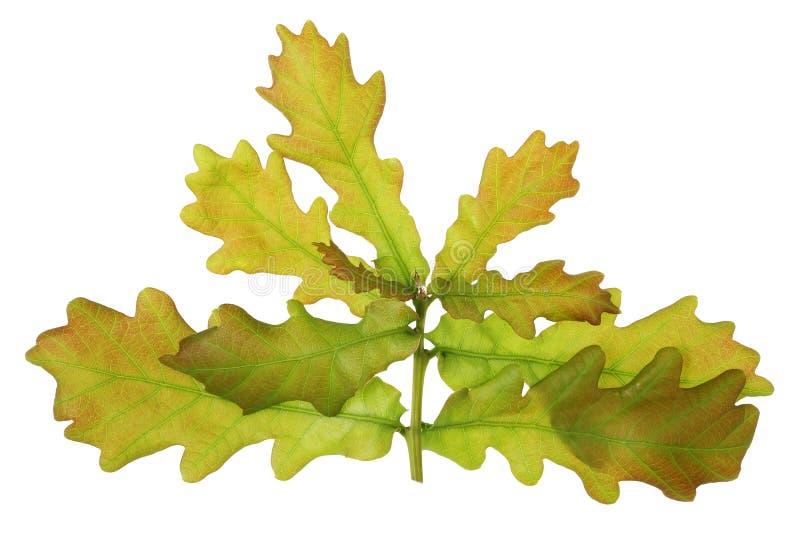 O galho de uma árvore de April European Oak da mola com pequeno macio fotos de stock