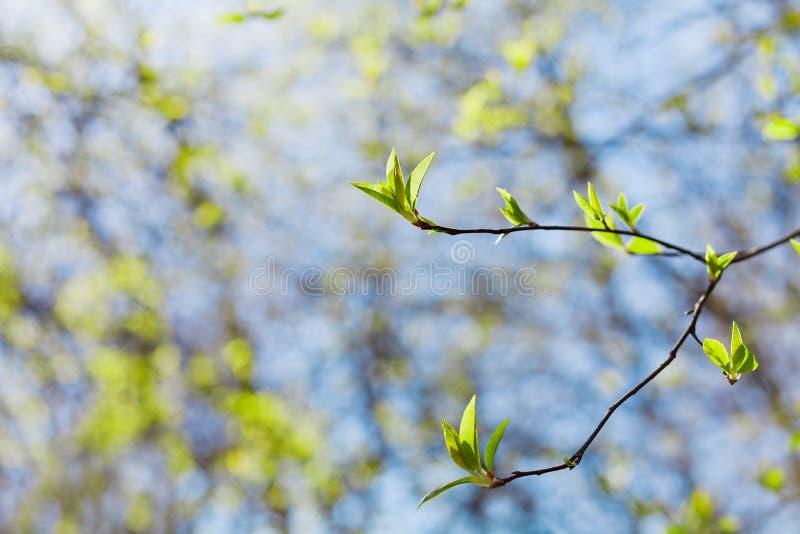 O galho novo da mola com verde sae contra o céu azul, paisagem bonita da natureza, vida nova imagens de stock royalty free