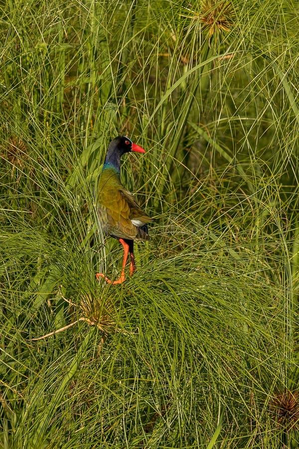 O Gallinule de Allen do pássaro em Botswana imagem de stock royalty free