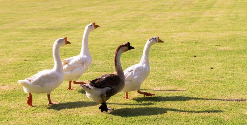 O ganso é a escolha a mais tradicional das aves domésticas para o Natal imagem de stock