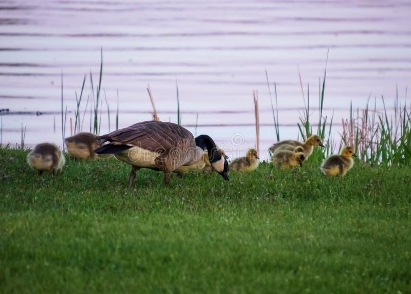 O ganso adulto do pai alimenta com sua embreagem dos ganso ao longo da costa da água de Flowage do Chippewa no por do sol imagem de stock