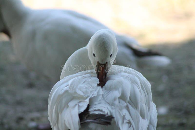 O ganso branco foto de stock