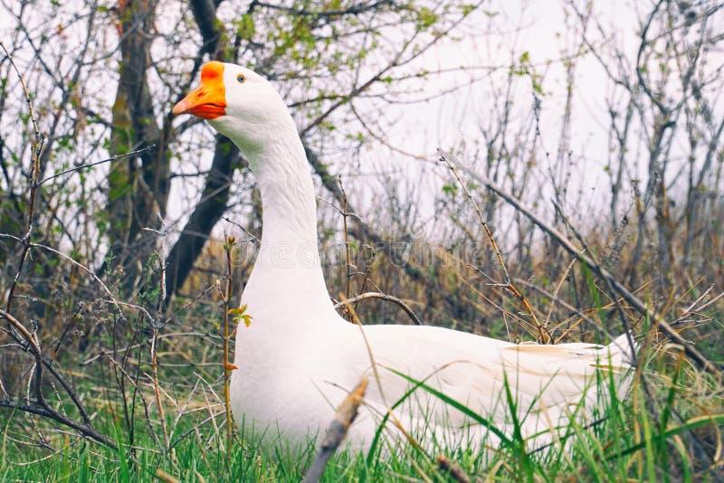 O ganso branco olha ao redor e anda na grama imagem de stock