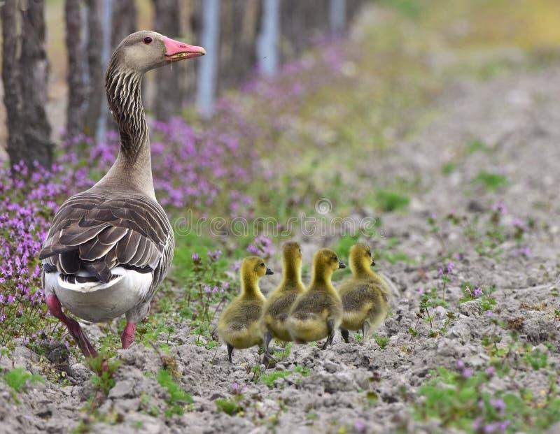 O ganso de pato bravo europeu com pintainhos, Neusiedler vê o lago foto de stock