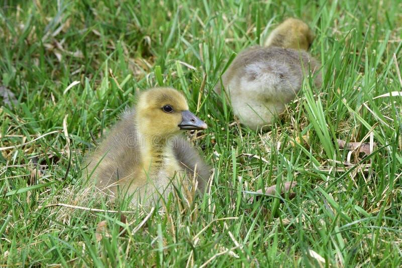 O ganso de pato bravo europeu com pintainhos, Neusiedler vê o lago foto de stock royalty free
