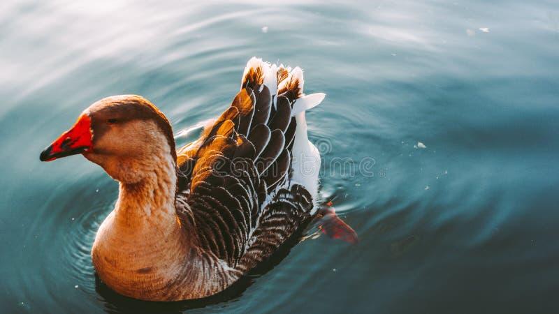 O ganso nada no lago imagens de stock