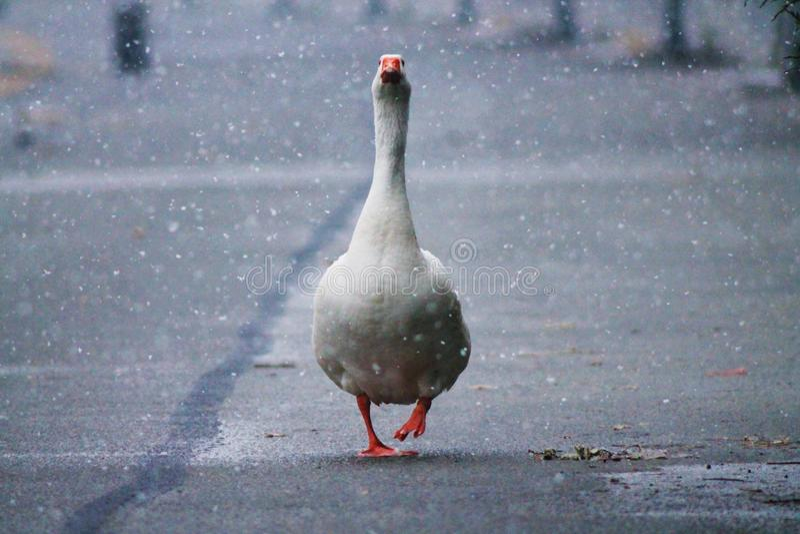 O ganso sob a neve foto de stock