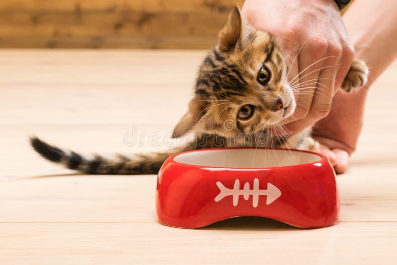 O gatinho é ensinado comer de um alimento da bacia para gatos fotos de stock