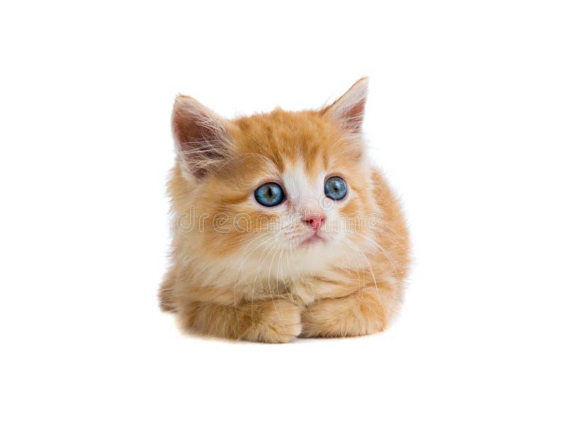 O gatinho alaranjado encontra-se em um branco imagens de stock royalty free