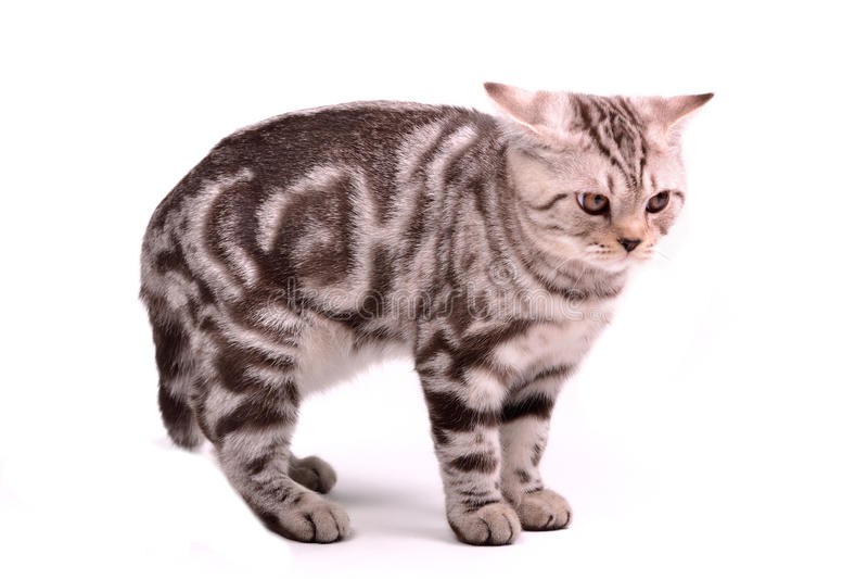 O gatinho amedrontado da dobra do scottish curvou uma parte traseira fotos de stock royalty free