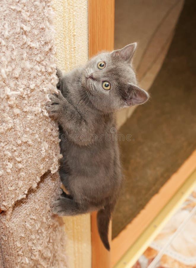 O gatinho azul britânico escala acima o risco do cargo fotos de stock royalty free