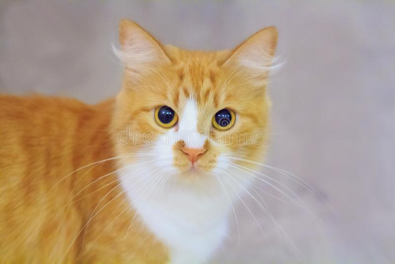 O gatinho bonito com pele vermelha e branca está olhando-o imagens de stock