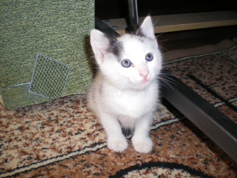 O gatinho branco com olhos azuis senta-se no tapete e olha-se acima foto de stock royalty free