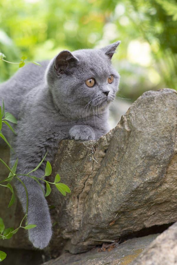 O gatinho britânico de Shorthair encontra-se em uma rocha no jardim e olha-se afastado imagens de stock