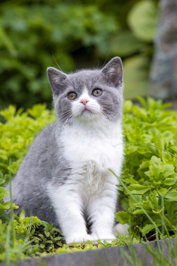 O gatinho britânico do shorthair senta-se no jardim entre a grama e em olhares ao lado fotografia de stock royalty free