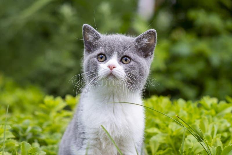O gatinho britânico do shorthair senta-se no jardim entre a grama e em olhares ao lado Grama verde no fundo imagem de stock royalty free