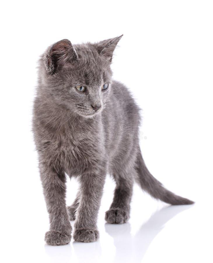 O gatinho cinzento desabrigado está em uma tabela branca Isolado em um fundo branco foto de stock
