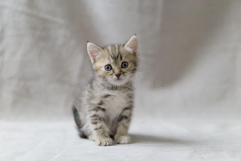 O gatinho de Brown senta-se e olha-se imagem de stock