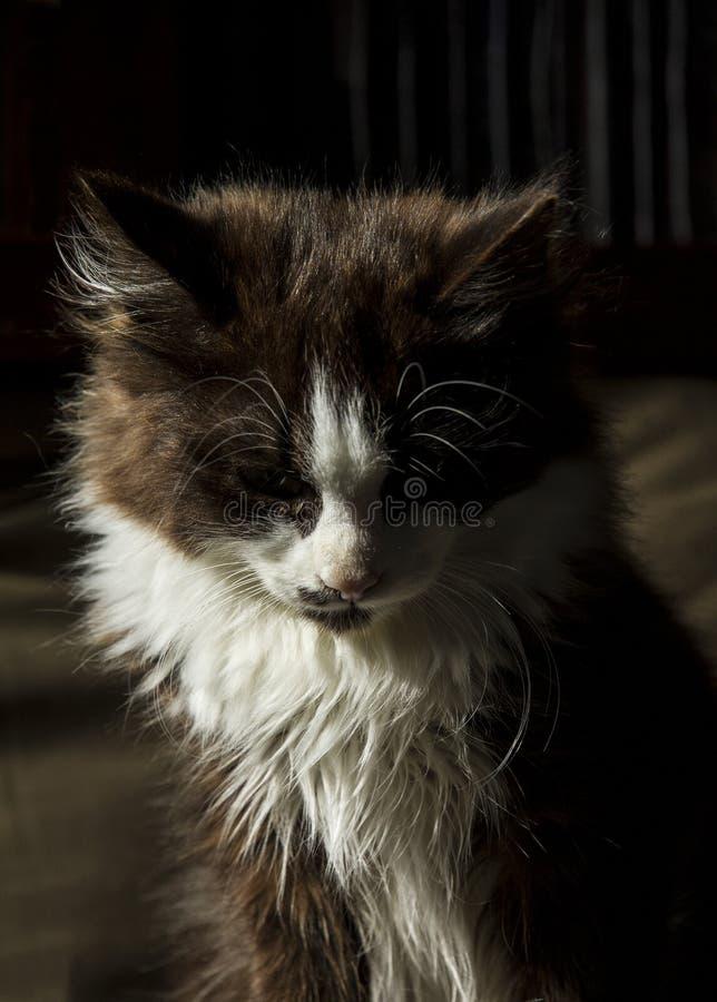 O gatinho de cabelos compridos preto-de cabelo macio olha triste no assoalho fotografia de stock
