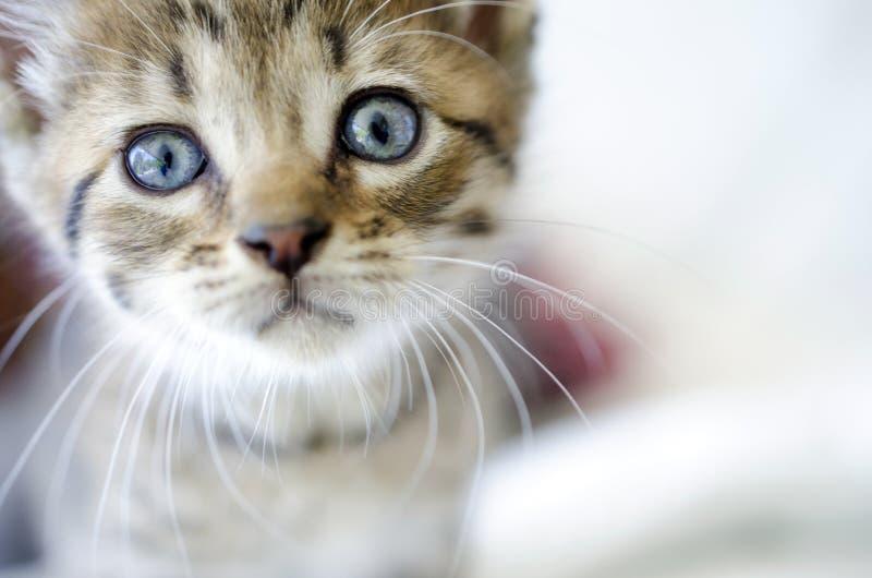 O gatinho do gato malhado de Brown com olhos azuis fecha-se acima fotografia de stock