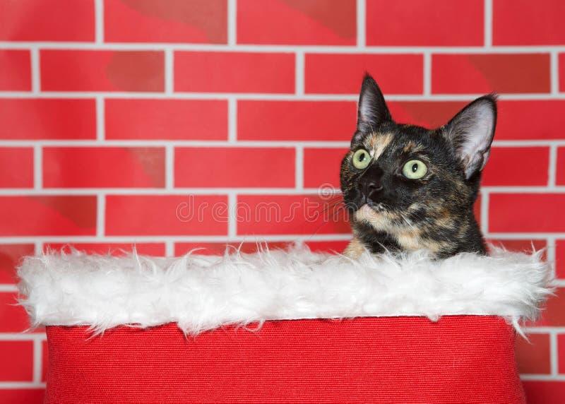 O gatinho do gato malhado de Tortie que repica fora de uma pele alinhou a cesta para o Natal fotos de stock royalty free