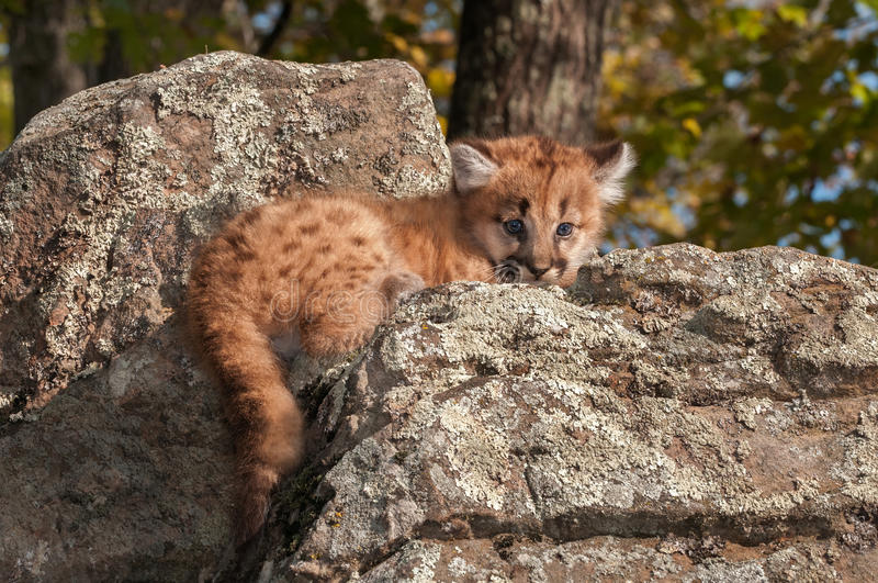 O gatinho fêmea do puma (concolor do puma) encontra-se em rochas fotos de stock