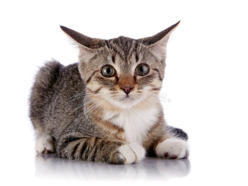 O gatinho listrado amedrontado encontra-se em um fundo branco. imagens de stock royalty free