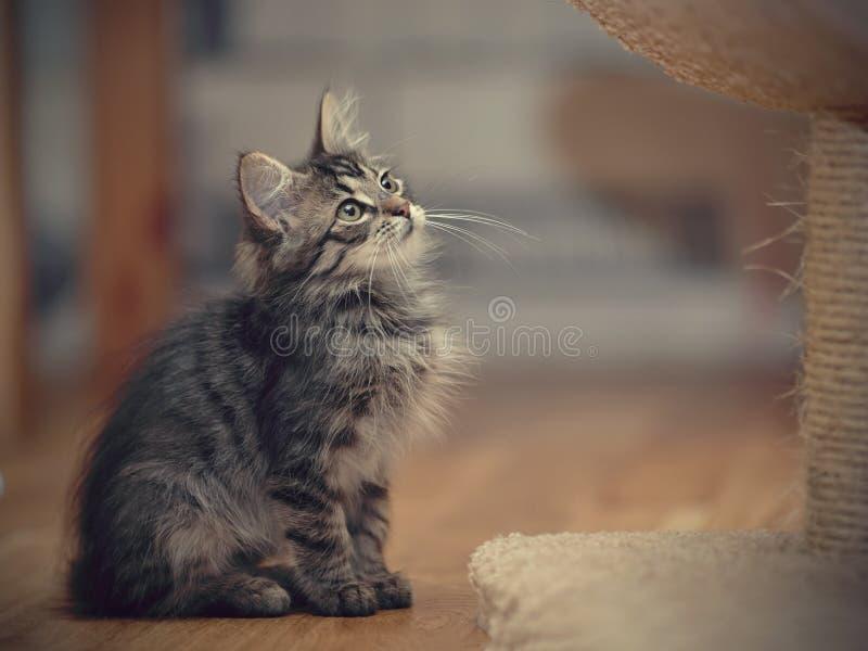O gatinho listrado macio cinzento senta-se imagens de stock